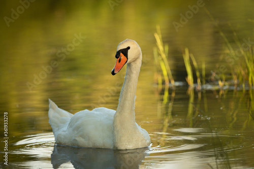 White swan on lake in the evening
