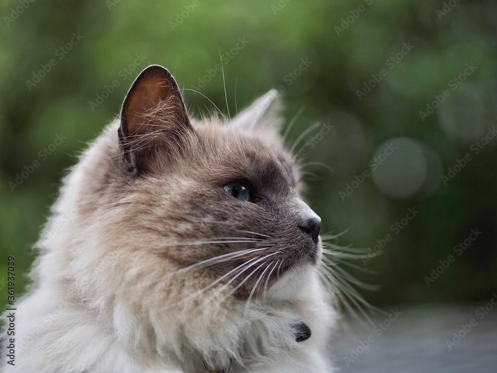 Fototapeta Long Haired Cat