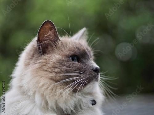 Fototapeta Long Haired Cat obraz