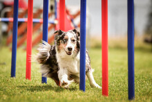 Lovely Tricolor Border Collie ...