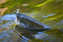 Trout Caught On Artificial Sof...