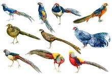 Pheasants, Watercolor Drawings...