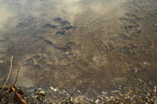 Animal Foot Prints In A Puddle...