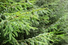 Raindrops On Young Green Fir T...