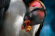 A Kings Vulture Grooming Its F...