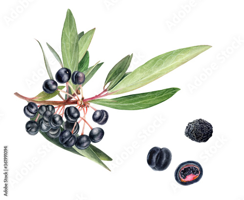 Photo Australian food native pepper beries, mountain pepper or tasmannia lanceolata wa