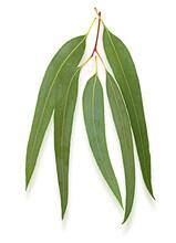 Eucalyptus Leaves Isolated On ...