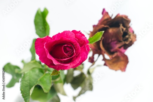 Fotografie, Obraz Soft focus of a vibrant, fresh pink rose and a blurry wilting rose isolated on w
