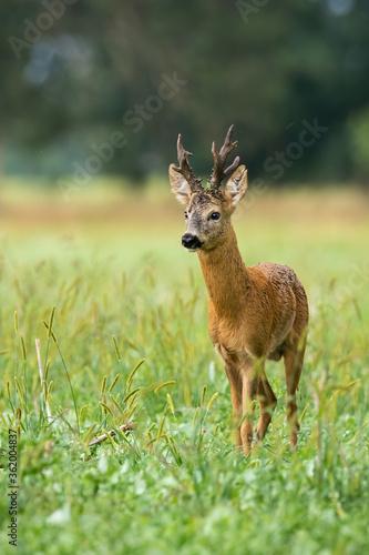 Fototapeta Majestic roe deer, capreolus capreolus, standing on meadow during the summer
