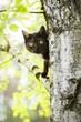 Głowa czarnego kota wychyla się z za drzewa liściastego brzozy i obserwuje otoczenie.
