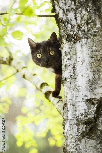 Fototapeta Głowa czarnego kota wychyla się z za drzewa liściastego brzozy i obserwuje otoczenie. obraz