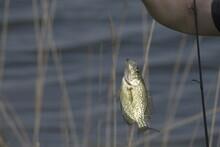 Fish Caught In McGee Marsh Ohi...
