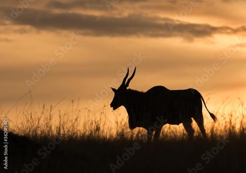 Photo Eland antelope in the golden hours of evening, Masai Mara