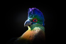 Close Up Shot Of A Purple Crested Turaco