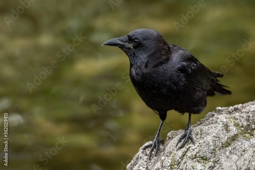 Crow on a rock