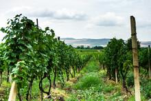 Vineyard In Kakheti Region, Ge...