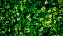 White Clovers Lawn