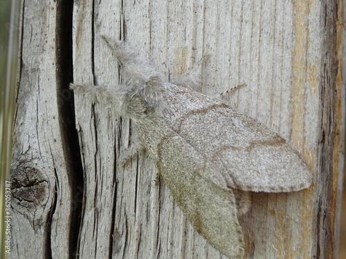 Valokuvatapetti The pale tussock (Calliteara pudibunda) on the wood.
