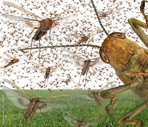 Cuadros en Lienzo Migratory locust swarm