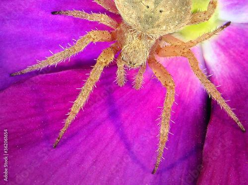 Spider on lilac flower. Wildlife. Macro Canvas Print