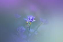 Blue Eyed Grass Flower Close Up Shot