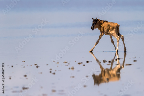 Photo Wildebeest migrate between Tanzania and Kenya annualy.