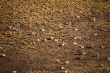 Rural Scenic. Herd Of Goats Gr...