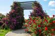 Pergola porośnięta różowymi pnącymi różami odmiany perenial blue. Obok kwitnące czerwone róże.