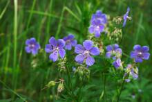 Beautiful Forest Flower Gerani...