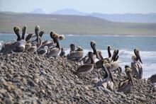 Pelicans On The Beach,  Baja C...