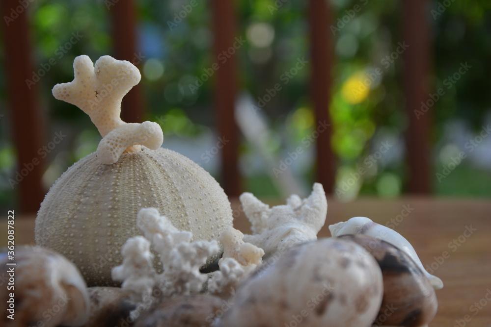 Fototapeta Muszle, koral oraz jeżowiec