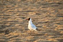 A Seagull Meets Dawn On The Sandy Sea Coast