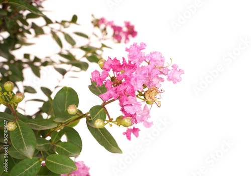 Obraz crepe myrtle flowers in garden - fototapety do salonu