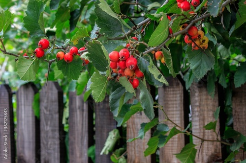 Photo Red berries of hawthorn on wooden fence background