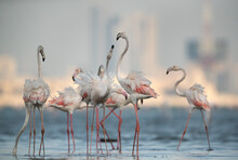Greater Flamingos Fight During...