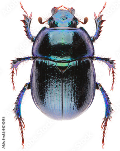 Canvas Print Anoplotrupes stercorosus dor beetle, is a species of earth-boring dung beetle belonging to subfamily Geotrupinae