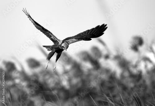 Photo Eurasian Marsh harrier looking for prey, Bahrain