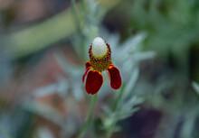 Ratibida Columnifera Or Mexican Hat Flower With Velvety Red Petals, Blurred Background