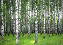 Morning Summer Birches And Mea...
