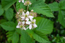 Close-up Of White Blossoms Of ...