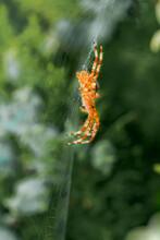 Ventral View Of European Garden Spider, Araneus Diadematus, On Its Orb Web