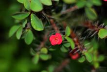 Crown Of Thorns Flower On A Green Leaf