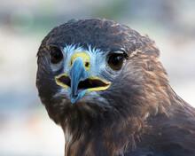 Hawk Bird Stock Photo.  Hawk Bird Head Close-up Profile.  Hawk Bird Close-up Blur Background