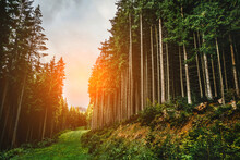 Forest Road Under Tall Spruce-trees, Slope Of The Hill Covered By Orange Earth Under Overcast Sky. Fir Forest With High Trees In Carpathian Mountains, Europe. Travel Background
