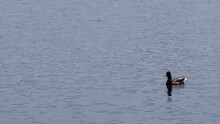 Lone Duck In The Lake In The Evening