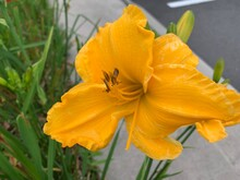Yellow Lilies, Long Petals, Serrated Edges, Many Stamens In The Center Of The Flower