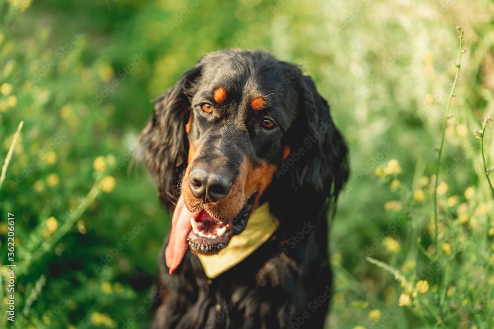 Fototapeta Scottish setter dog on green grass