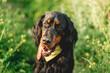 Scottish setter dog on green grass