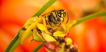 A Common Wasp (Vespula Vulgari...