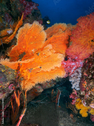 Photo Sea fans, and Painted spiny lobsters under the rock